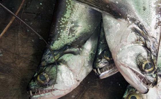 食人鱼水蟒电鳗 世界上13种最可怕的淡水动物【7】