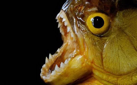 食人鱼水蟒电鳗 世界上13种最可怕的淡水动物【2】