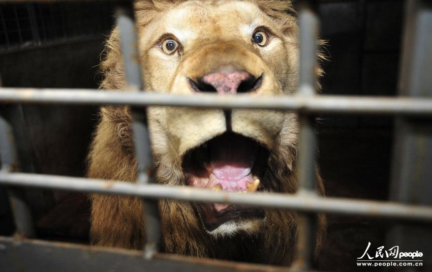 """2013年1月31日,长沙市生态动物园,手术前""""帅帅""""非常的焦躁,不停的怒吼"""