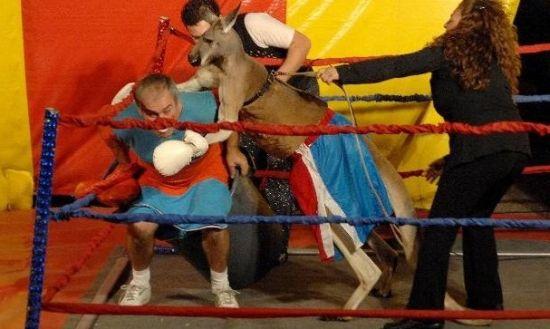 袋鼠/带着拳击手套的袋鼠被迫和一名小丑进行比赛。