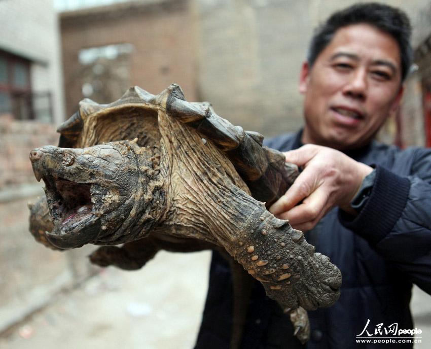 """高清组图:河南汤阴惊现巨型""""怪龟"""" 嘴巴锋利霸气 ..."""
