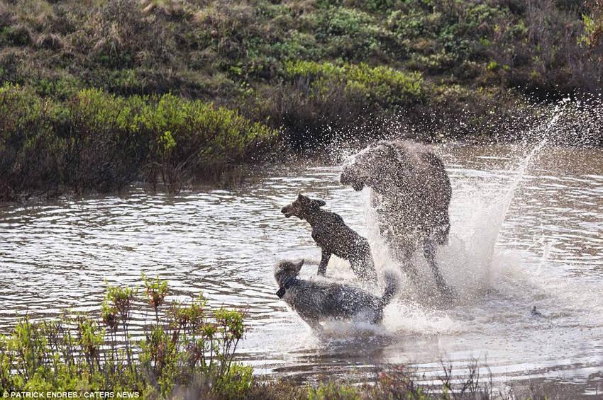 高清:母爱无敌!麋鹿妈妈为护幼崽激斗群狼