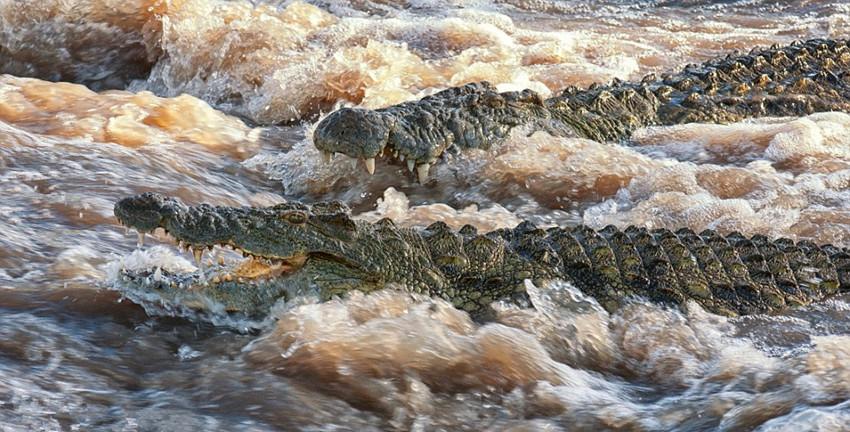 高清组图:摄影师实拍鳄鱼群排队撕食河马捕食角马[16]