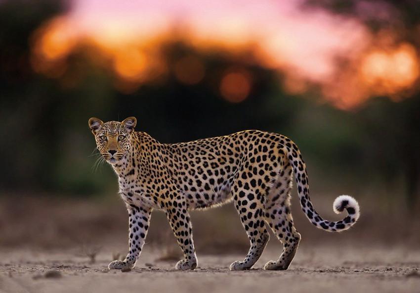 高清组图:摄影师跟拍2年记录母豹夜间生活