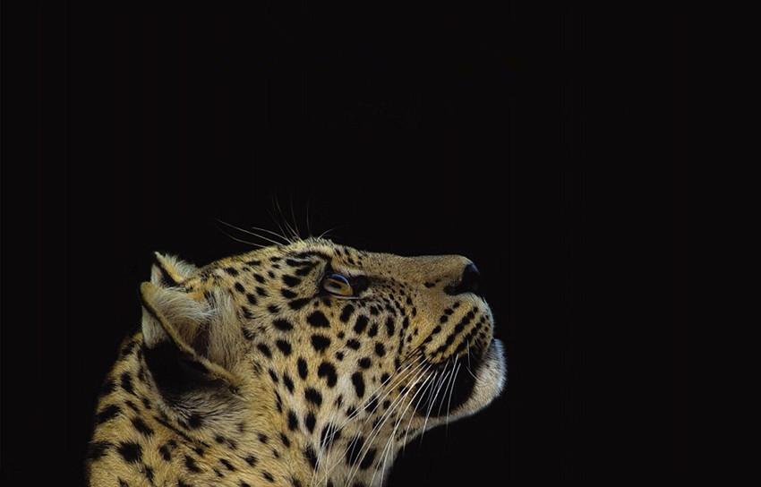 高清组图:摄影师跟拍2年记录母豹夜间生活【5】