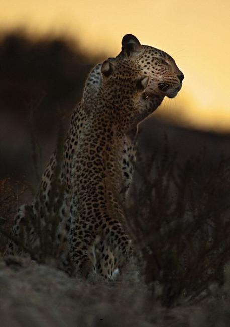 高清组图:摄影师跟拍2年记录母豹夜间生活【6】
