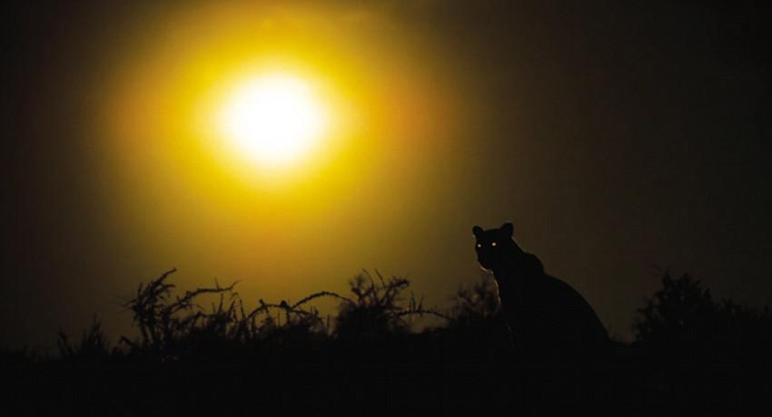 高清组图:摄影师跟拍2年记录母豹夜间生活【8】