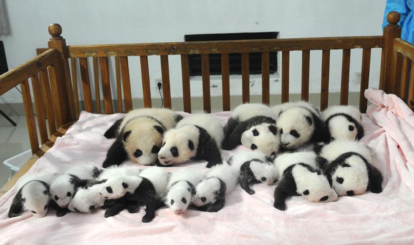 高清:成都14只新生大熊猫宝宝集体亮相【2】--图片