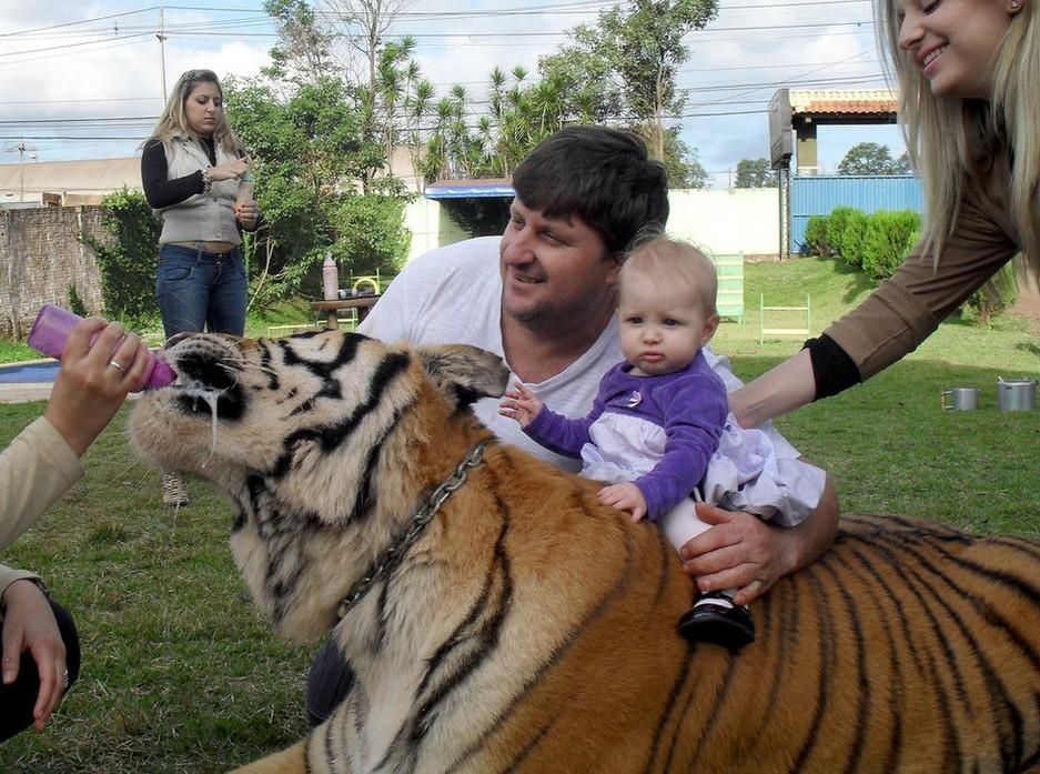 养七只老虎当宠物