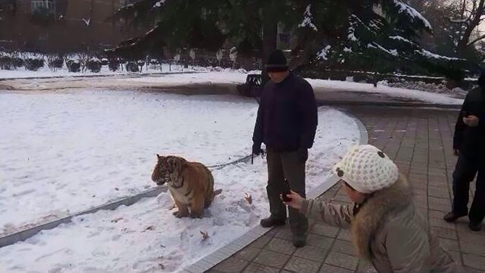 焦作人民公园动物园的饲养员老呼正在遛老虎。(图片来源网络)