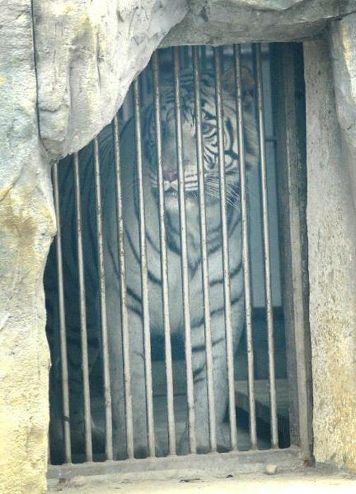 事发后,两只白虎被关进内舍。