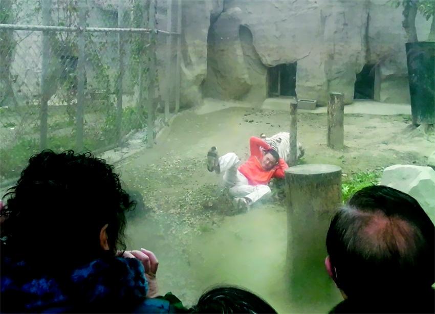 成都一男子翻越动物园围墙 跳入虎穴挑衅白虎