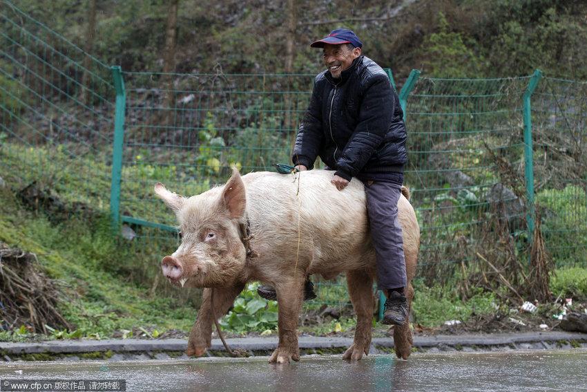 猪操人_重庆老汉骑猪逛街 过路人纷纷围观--图片频道--人民网