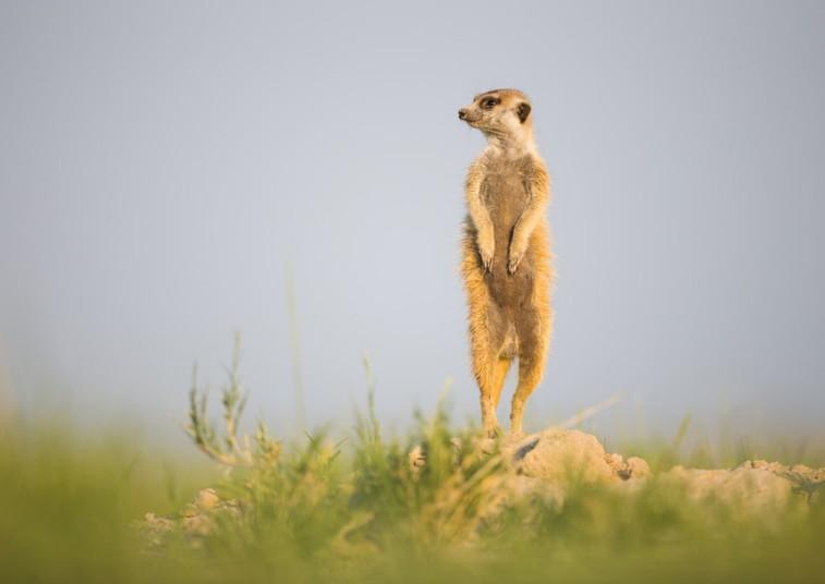 动物摄影师非洲近距离实拍萌物狐獴【11】