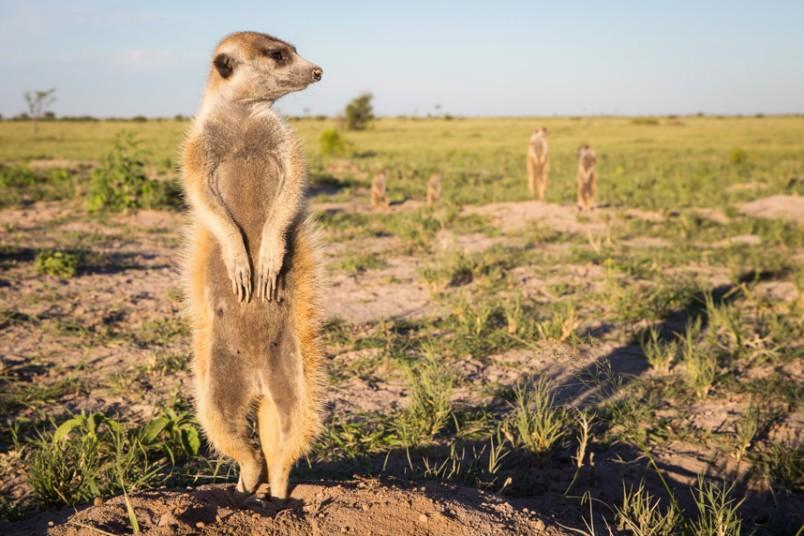 动物摄影师非洲近距离实拍萌物狐獴【13】