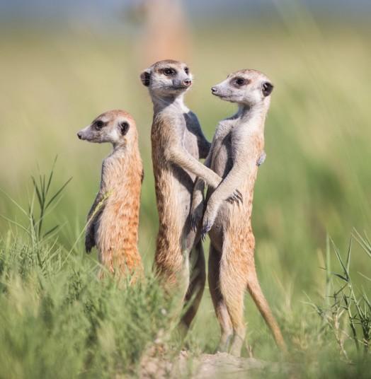 动物摄影师非洲近距离实拍萌物狐獴【2】
