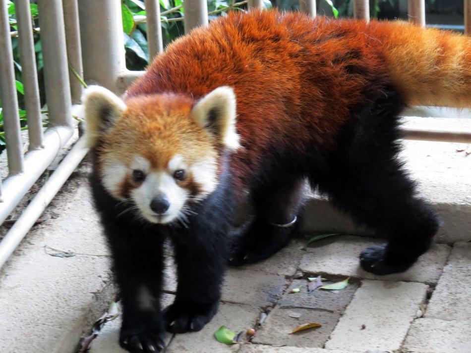 """小熊猫""""美可""""抵达台北市动物园"""
