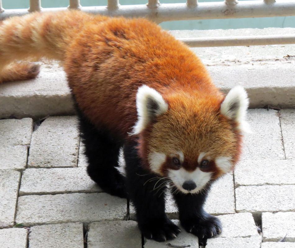 """小熊猫""""丫丫""""亮相台北市动物园"""