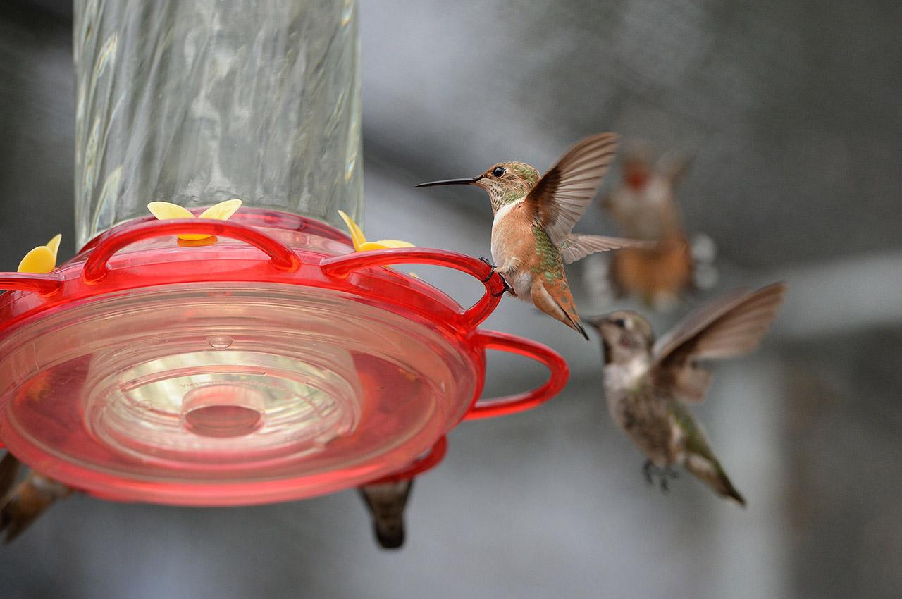 趣图:尽态极妍 蜂鸟啄水--图片频道--人民网