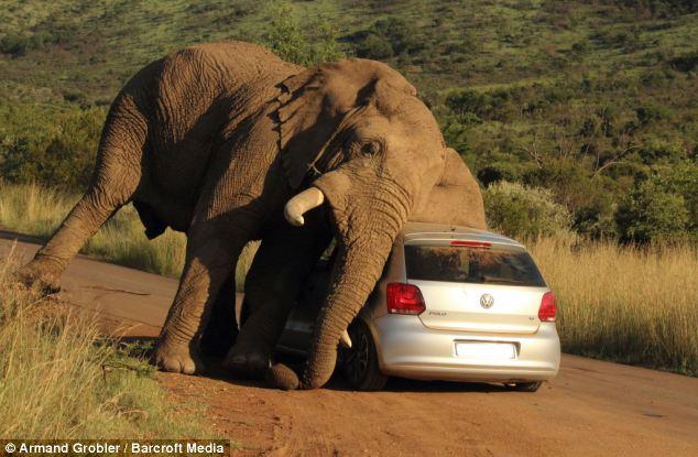 南非野生动物园惊险一幕 发情期大象 爱抚 汽车吓坏游客图片