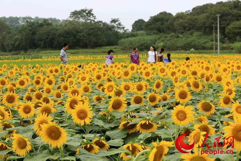 广西柳州:向阳花海醉游人