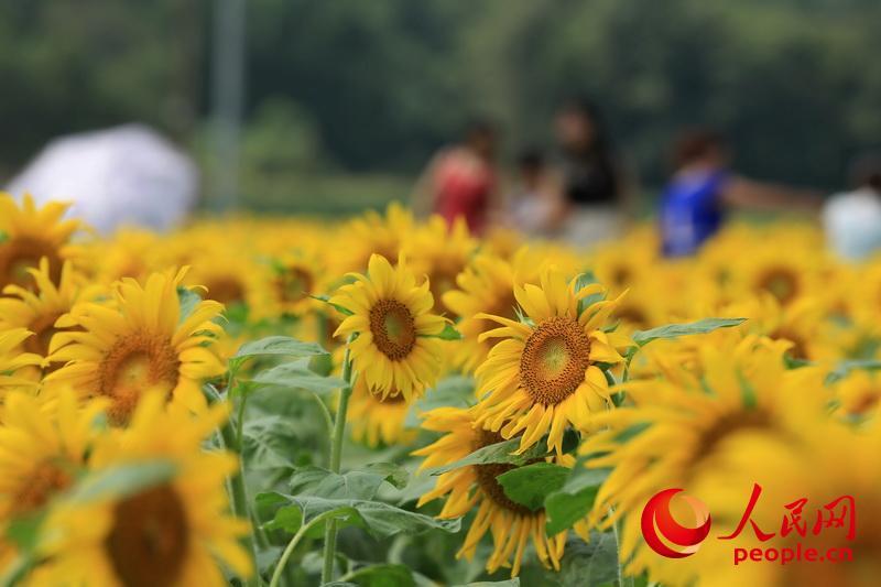 广西柳州:向阳花海醉游人【5】