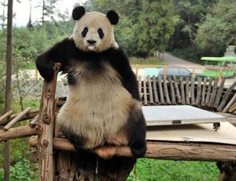 云南昆明动物园体检 熊猫思嘉破坏后卖萌