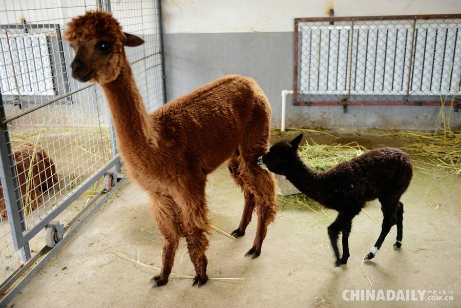 2015年1月27日,山东青岛森林野生动物世界,刚出生的小羊驼在吃奶.