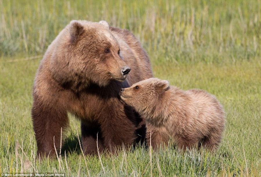 实拍动物界母爱 熊妈妈拥抱幼熊【11】
