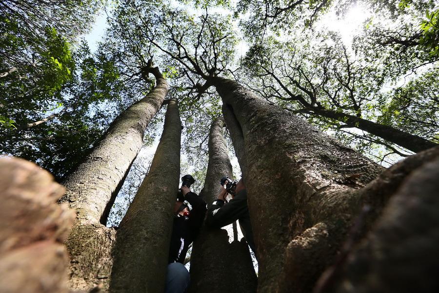 摄影爱好者在楠木林中拍摄