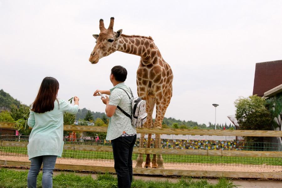 5月19日,游客在贵阳野生动物园与长颈鹿互动.新华社发(张晖 摄)