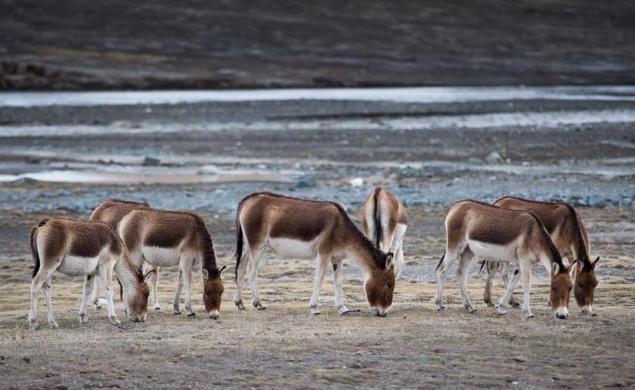 三江源地区野生动物数量持续上升