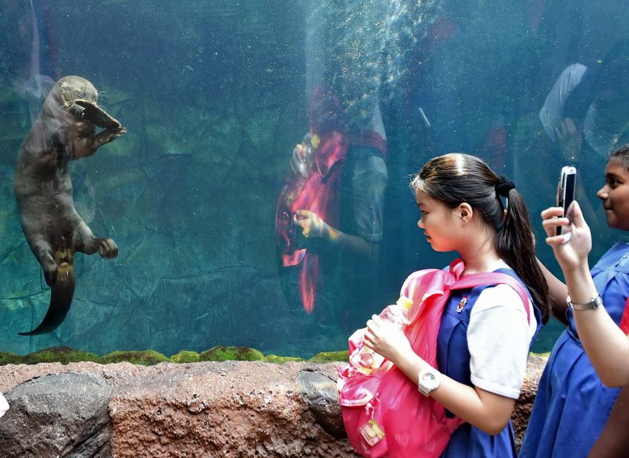 几名学生在新加坡动物园观看一只水獭玩一片