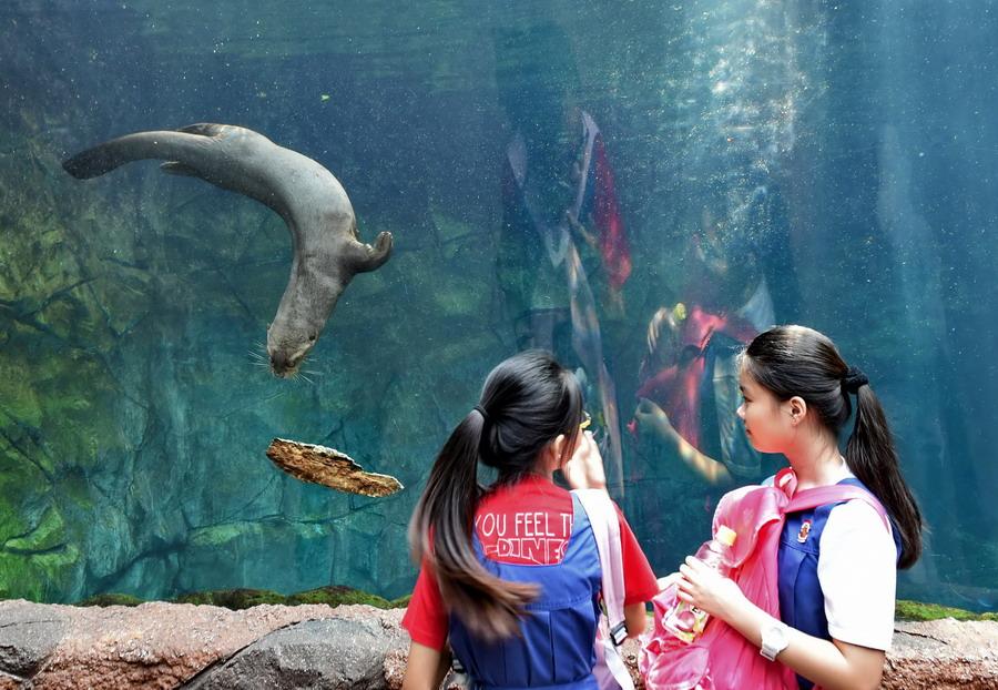 5月21日,几名学生在新加坡动物园观看一只水獭玩一片浮木.新华社/法新