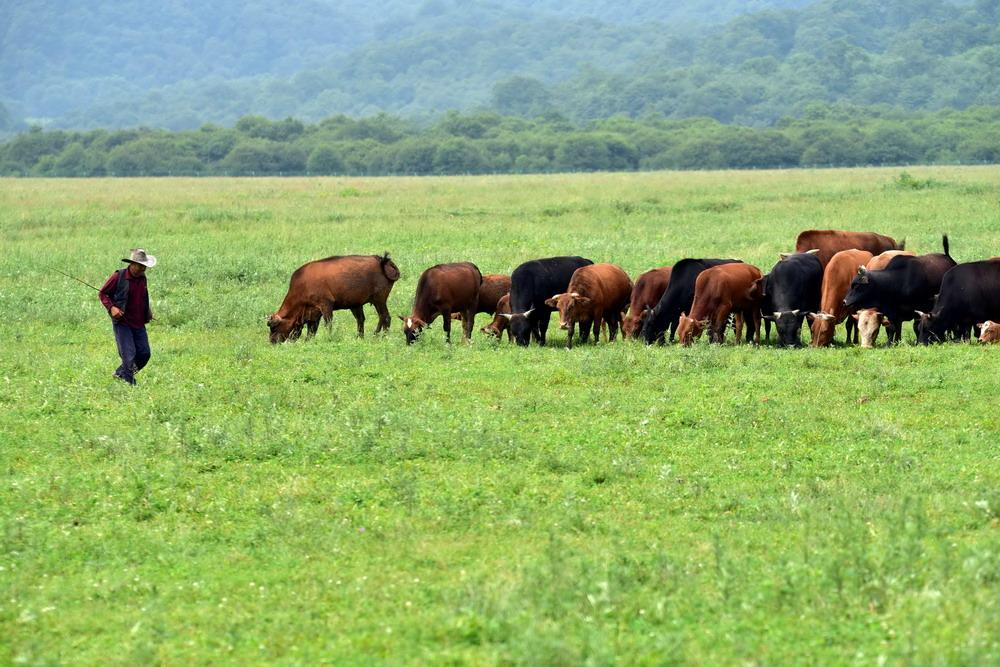 7月13日,农户在神农架大九湖高山湿地放牛。