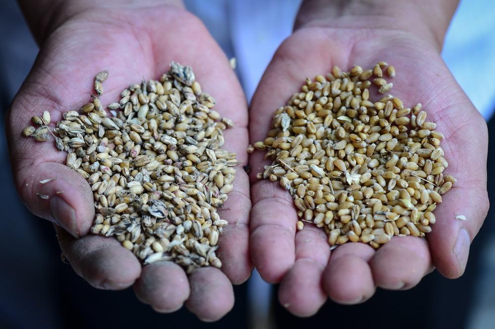 农家小麦堆积如山 国有粮库空空如也