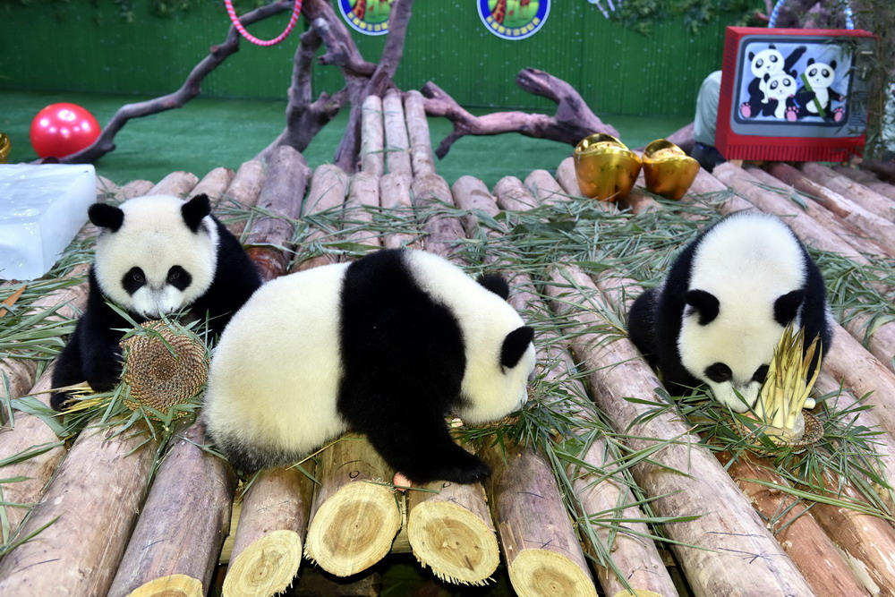 广州长隆野生动物世界的大熊猫三胞胎享用竹