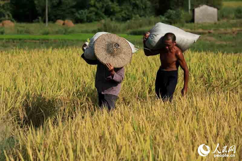8月10日,在广西柳州市融安县潭头乡新桂村,两名农民将收割的早稻扛出