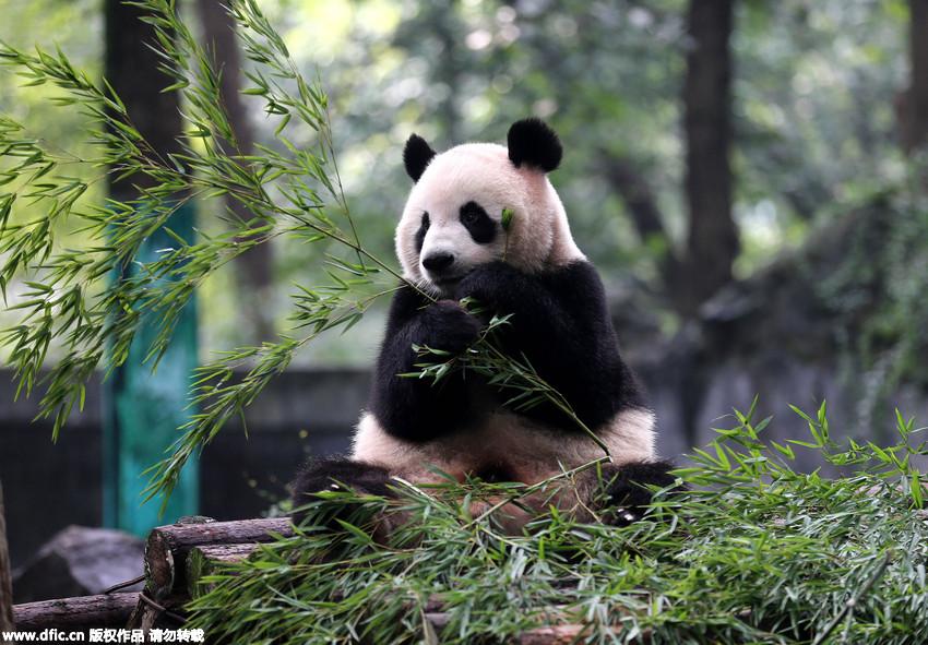 杭州动物园熊猫姐弟生日