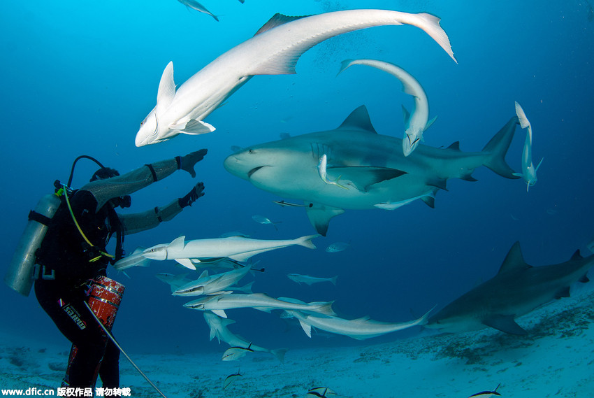 摄影师拍摄潜水员海底喂食牛鲨照片 颤抖吧!--图片频道--人民网
