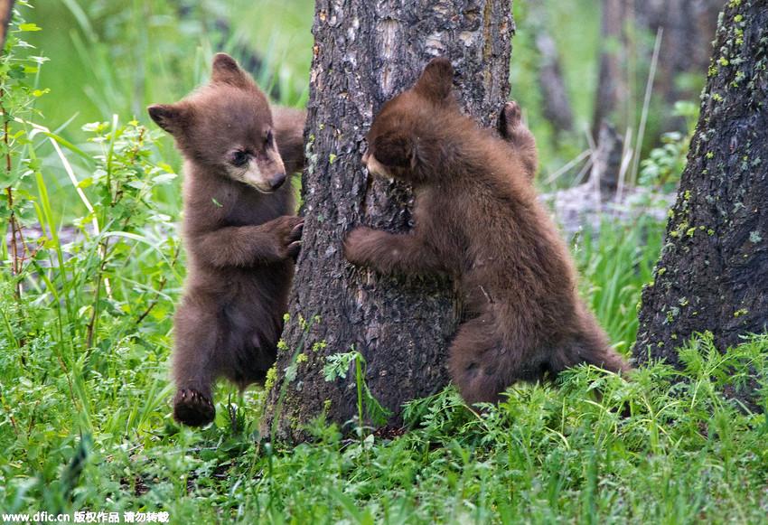 摄影师拍摄两只小熊大树下玩躲猫猫