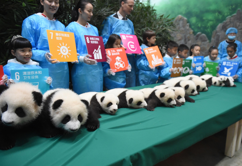 成都大熊猫繁育基地2015级熊猫宝宝幼稚园开园