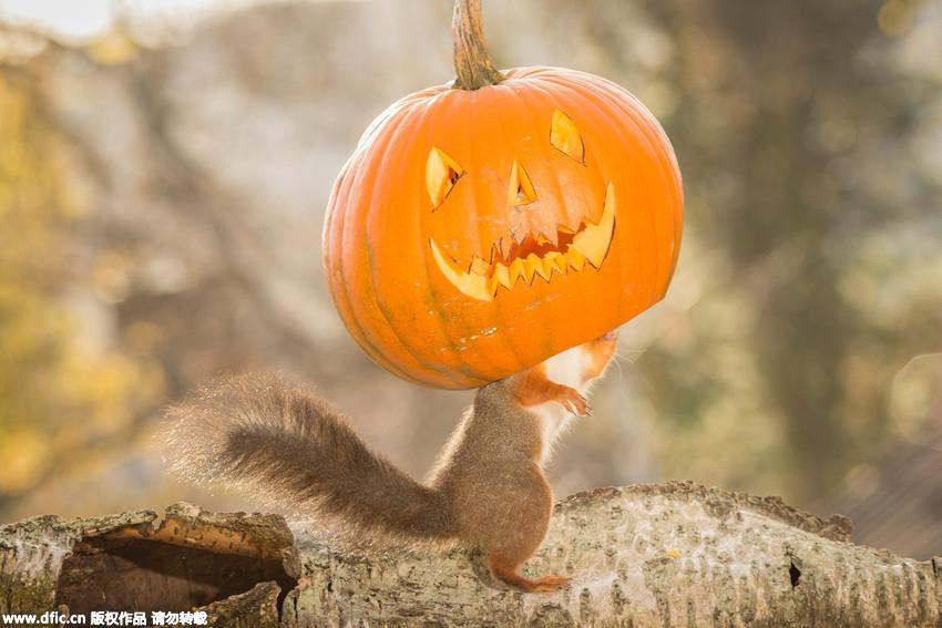 可爱小松鼠试戴鬼脸南瓜 迎接万圣节