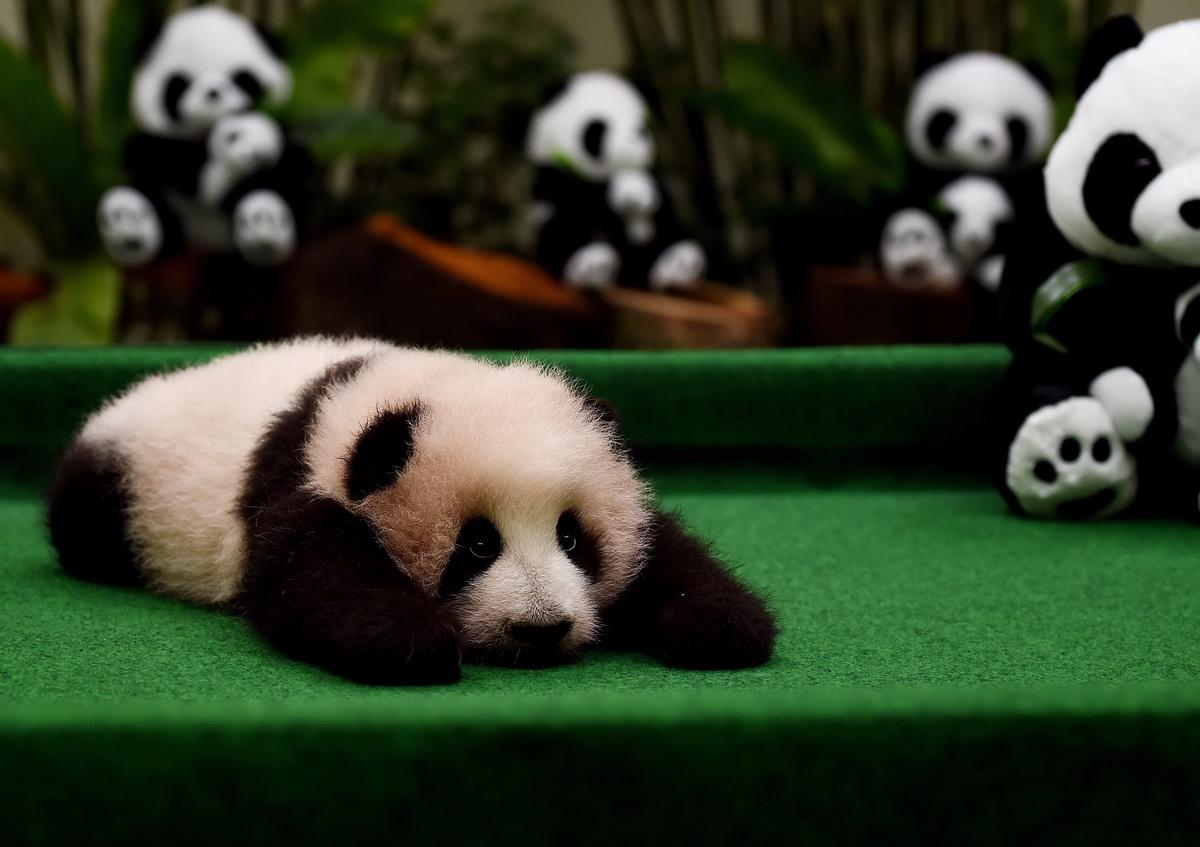 儿童动物简笔画大熊猫的画法
