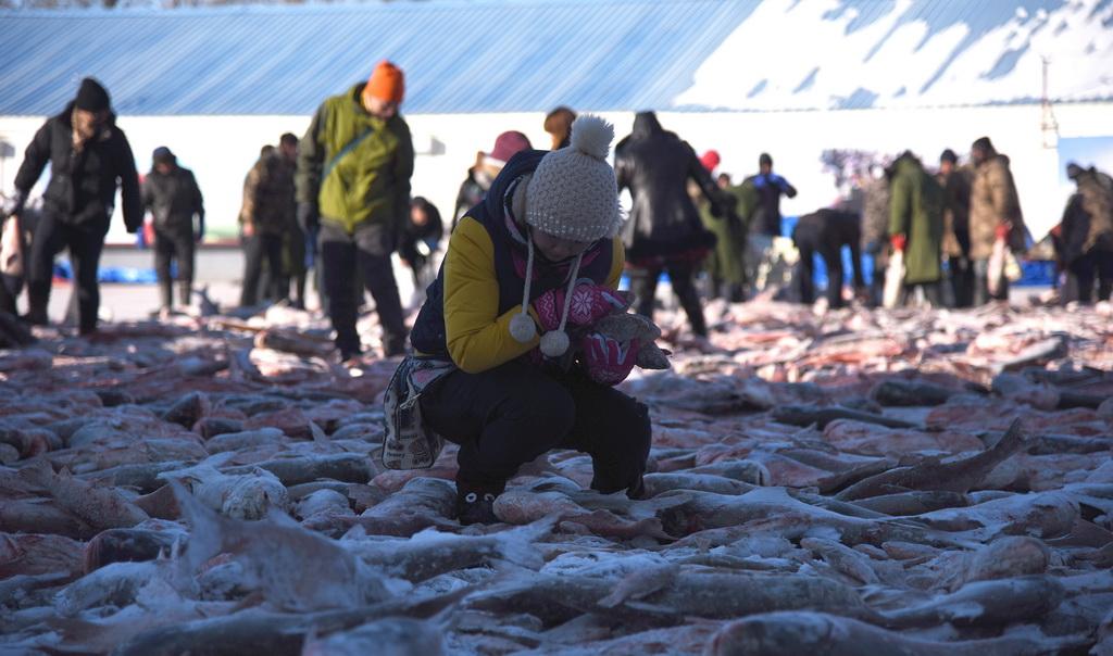 查干湖冬捕 游客冰水中上演抢鱼大战