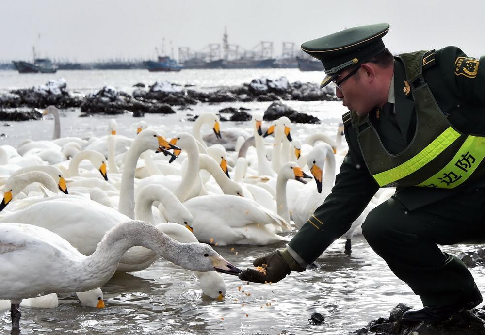 1月19日,俚岛边防派出所民警为雪天觅食困难的大天鹅补充饲料。新华社记者 朱峥 摄