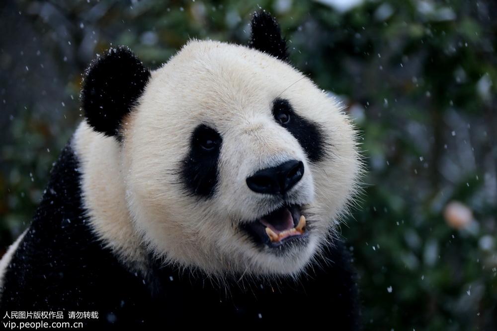 安徽黄山:大熊猫雪中玩耍卖萌憨态可掬