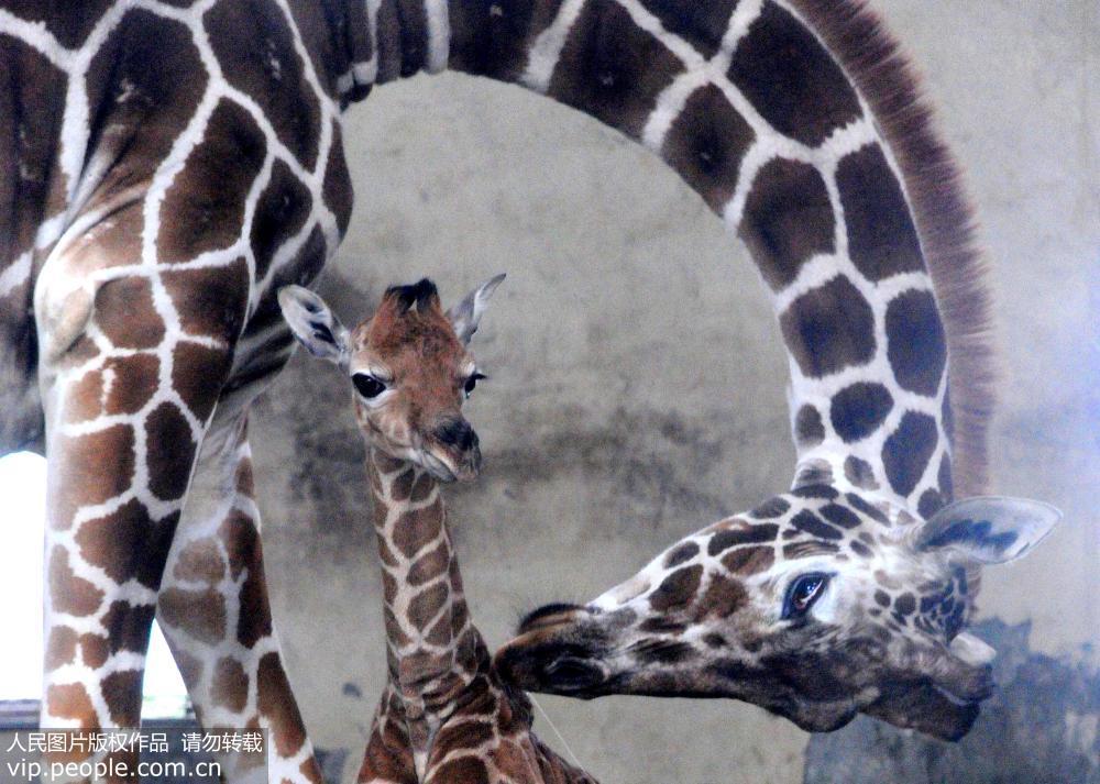 苏州动物园添长颈鹿宝宝
