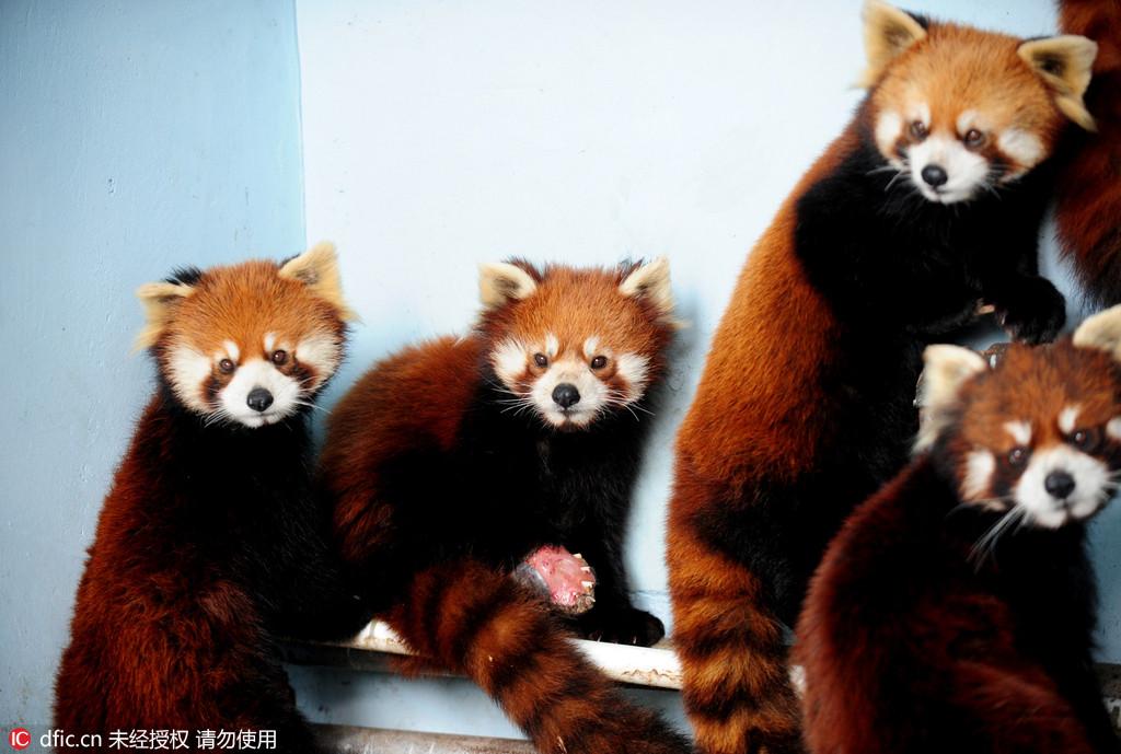 六只小熊猫落户沈阳 呆萌惹人爱