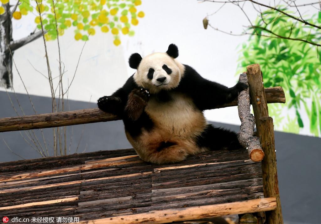 洛阳:大熊猫 打滚发呆练